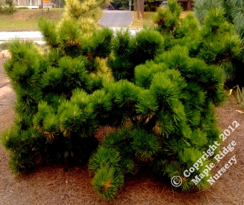 Pinus_thunbergii_Thunderhead_2013_Maple_Ridge_Nursery.jpg