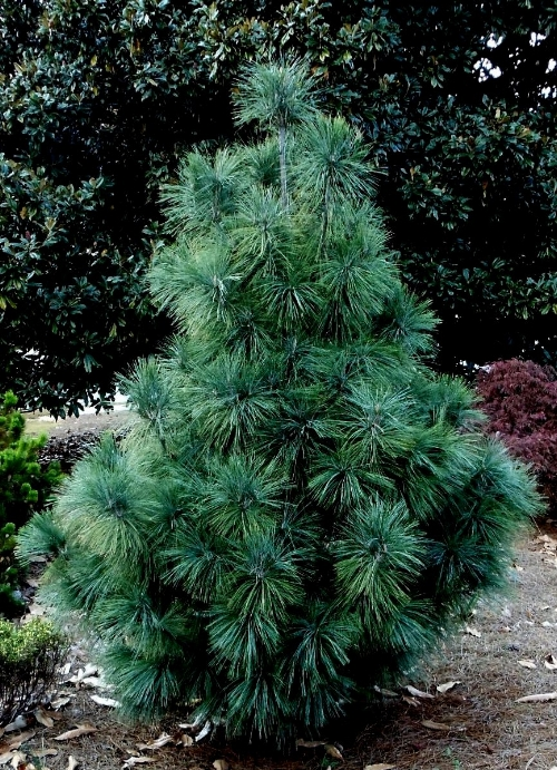 Pinus_wallichiana_Densa_2011_Maple_Ridge_Nursery.JPG