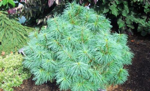 Pinus_wallichiana_Nana_Maple_Ridge_Nursery.jpg