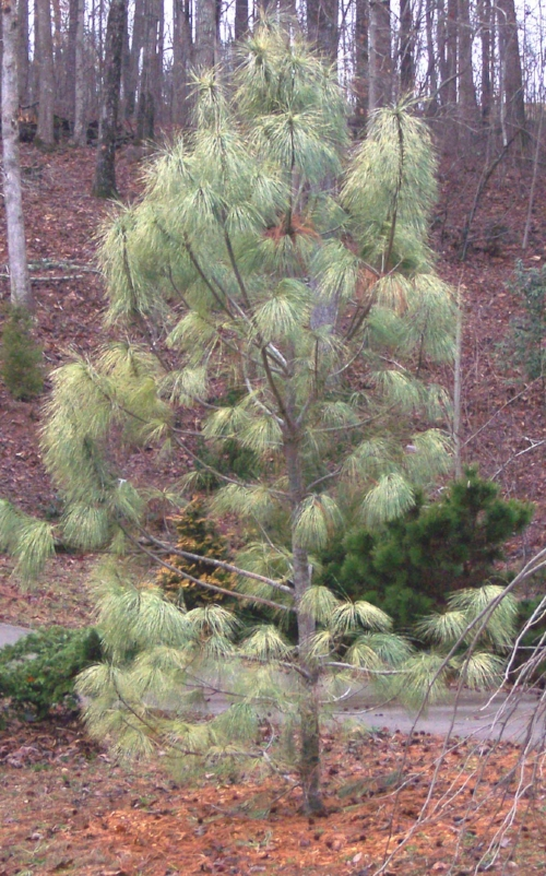 Pinus_wallichiana_Zebrina_Maple_Ridge_Nursery.jpg