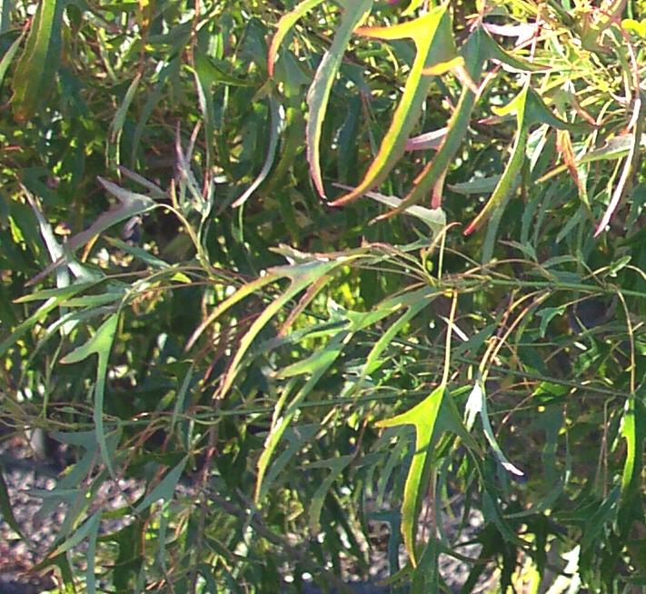 Acer_buergerianum_Mino_yatsubusa_Maple_Ridge_Nursery.jpg