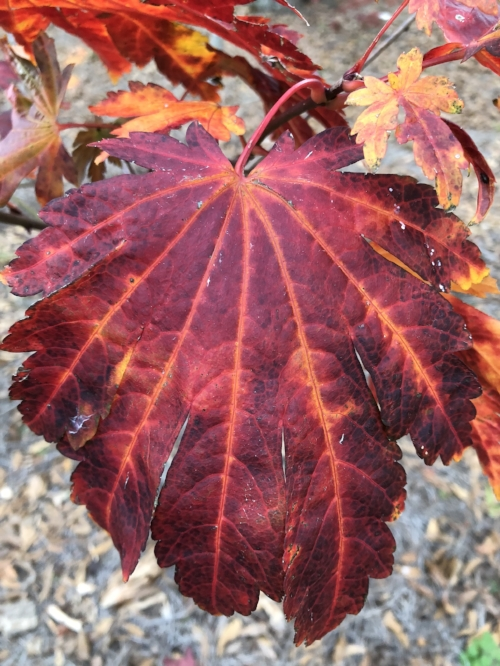 Acer_japonicum_Emmetts_Pumpkin_Maple_Ridge_Nursery_1.jpg