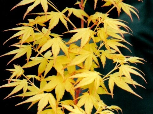 Acer_palmatum_Sango_kaku_November_Maple_Ridge_Nursery.jpg