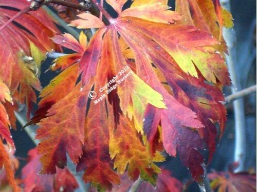Acer_japonicum_Aconitifolium_November_Maple_Ridge_Nursery.jpg