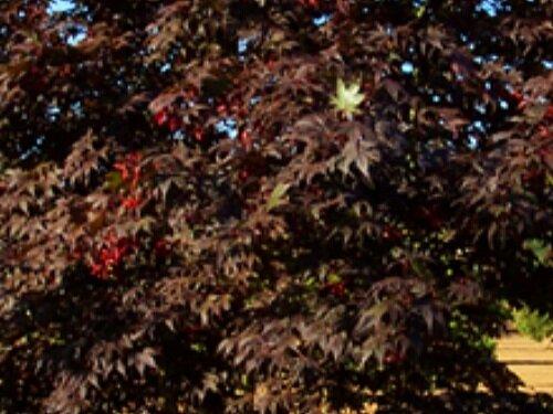 Acer_palmatum_Bloodgood_June_Maple_Ridge_Nursery.JPG