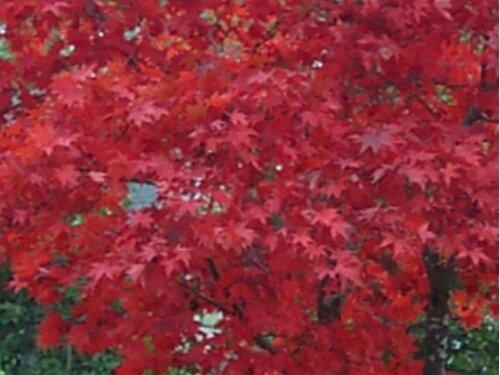 Acer_palmatum_Bloodgood_November_Maple_Ridge_Nursery.JPG