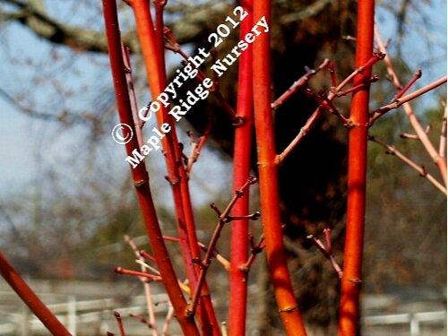 Acer_palmatum_Japanese_Sunrise_February_2012_Maple_Ridge_Nursery.jpg