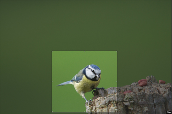 Blue tit crop