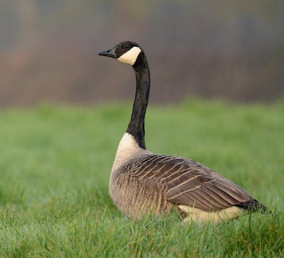 Canadian Goose - Nikon D800