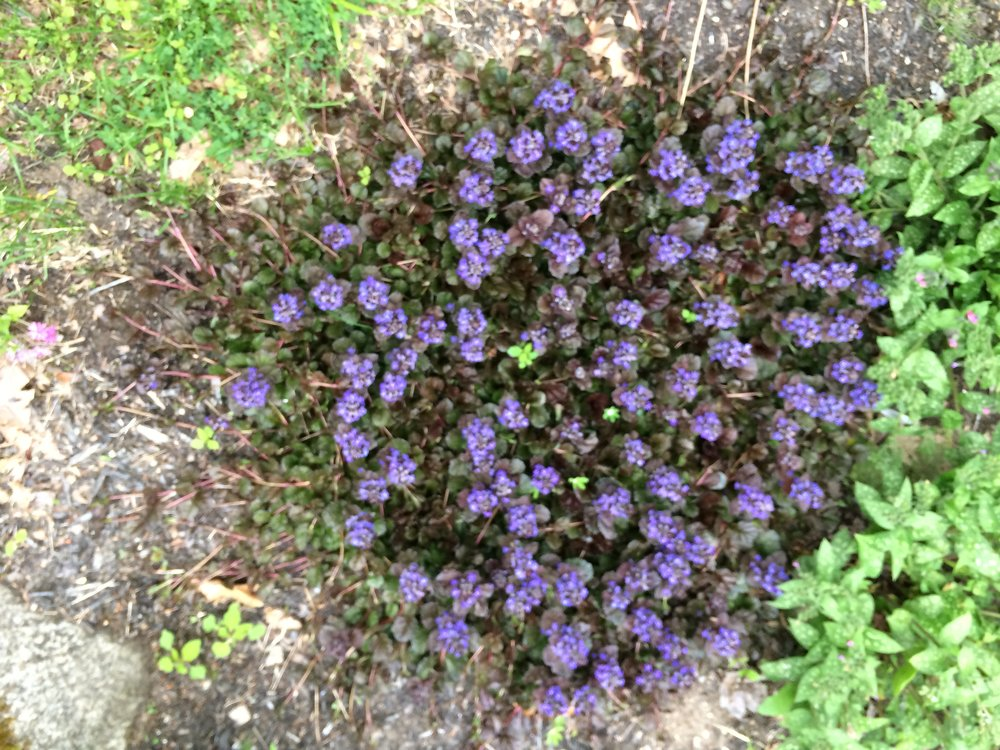 Aguga also called Bugleweed
