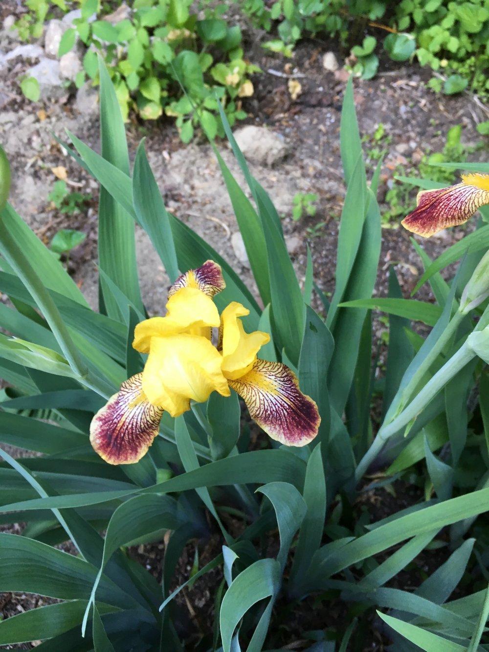 Yellow and red Bearded Iris
