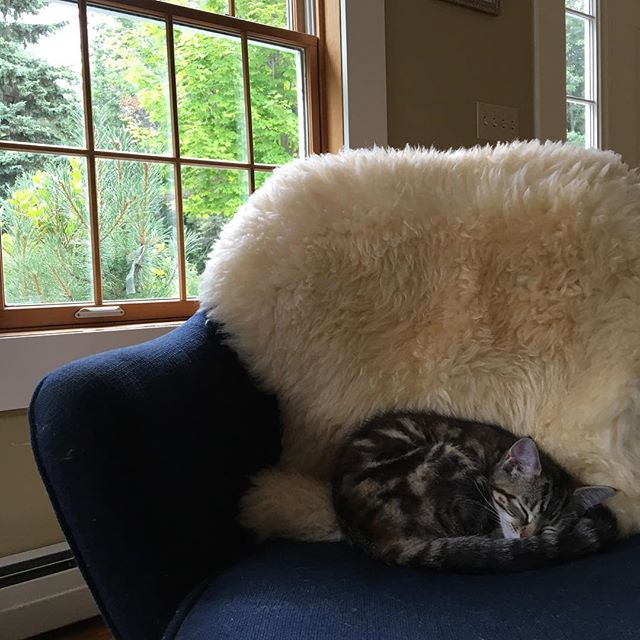 I think we may have the cutest kitten in the whole world. Little Furiosa took a break from pouncing on the older gentleman cats and curled up on her favorite sheepskin. #kitten #kittensofinstagram #vermontcats #cutestkitten