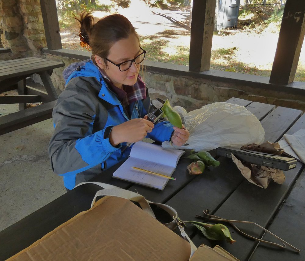 Ellen Goddard measuring pitcher plant leaves