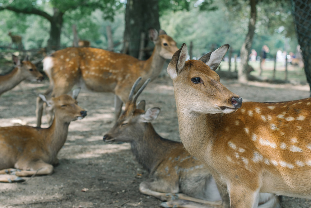 Fell in love with all the deer in Nara!