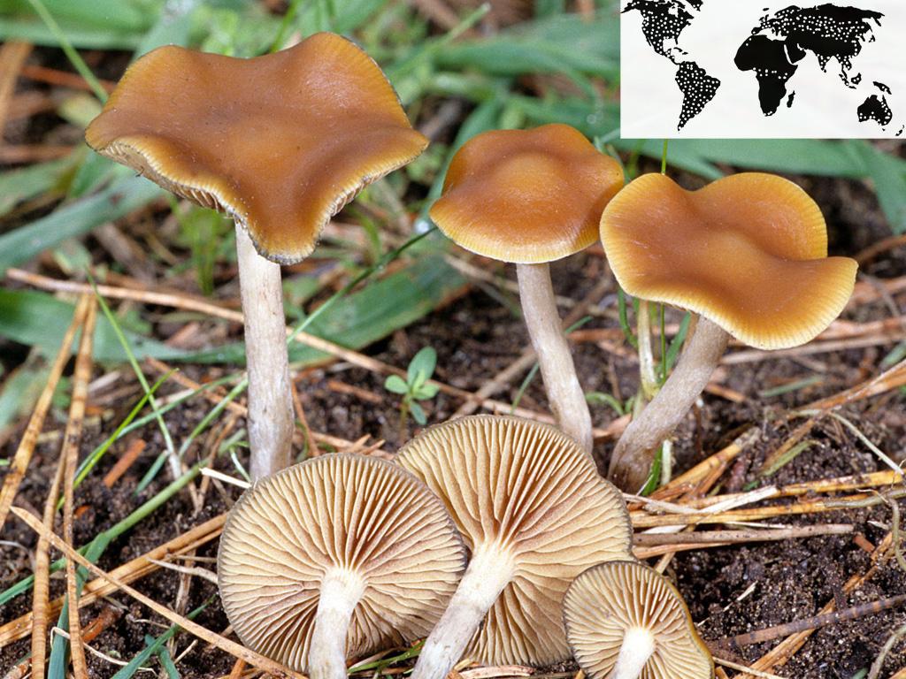 Psilocybe cyanescens (wavy cap)