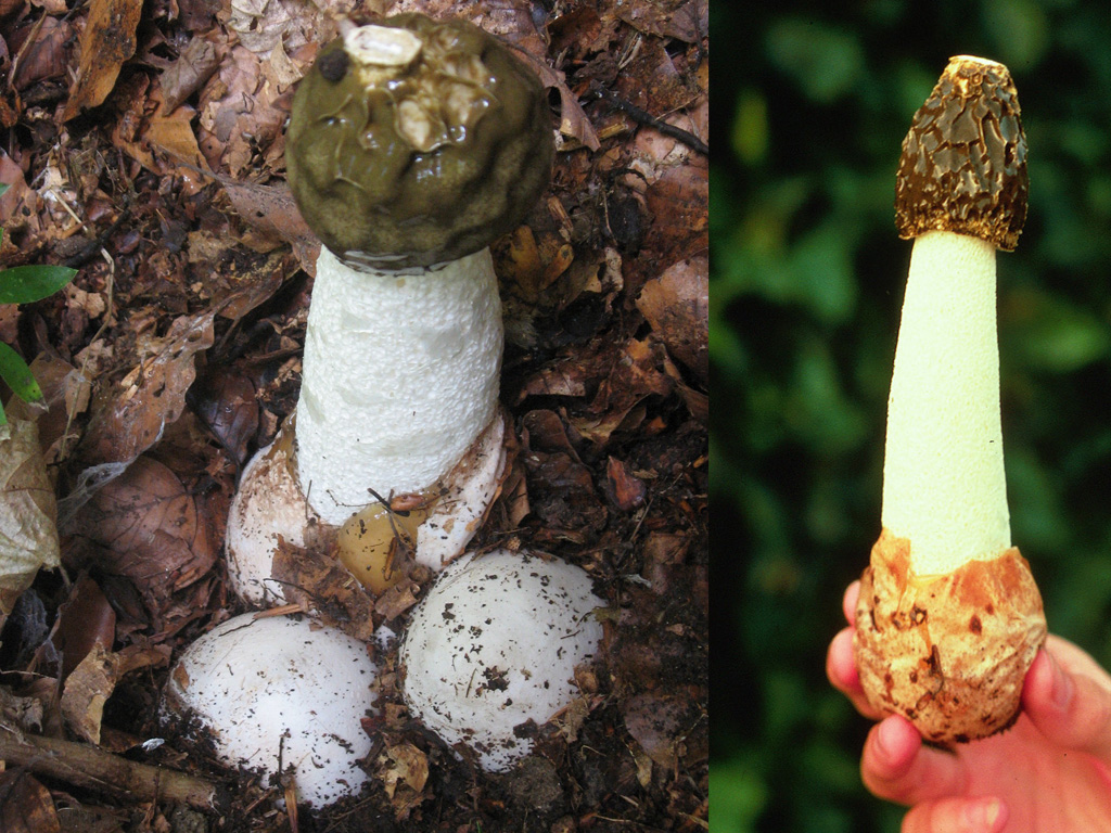 "Stinkhorn mushroom, or Phallus Impudicus (""lewd penis"")"