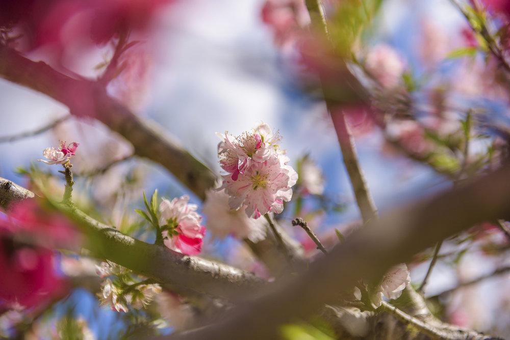 Cherry-blossom-000052605300_Small.jpg