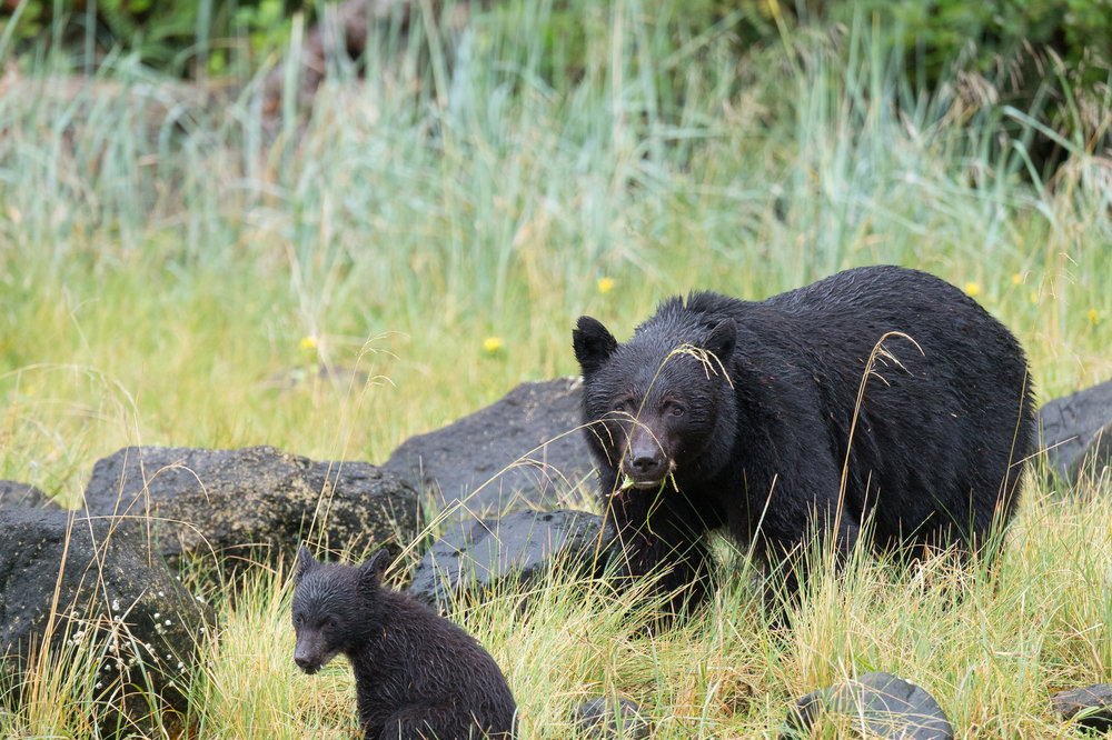 Tofino Bear Tour