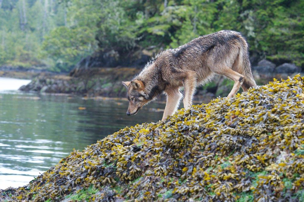 Tofino wolves
