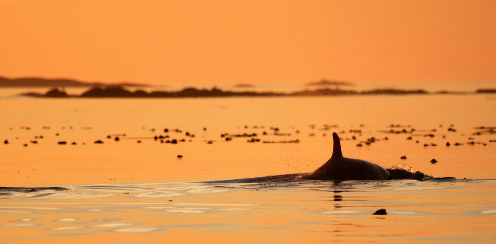 baby orca sunset.jpg