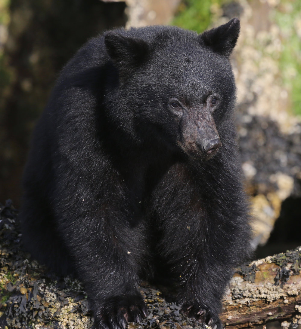 Tofino Bear Watching Tour