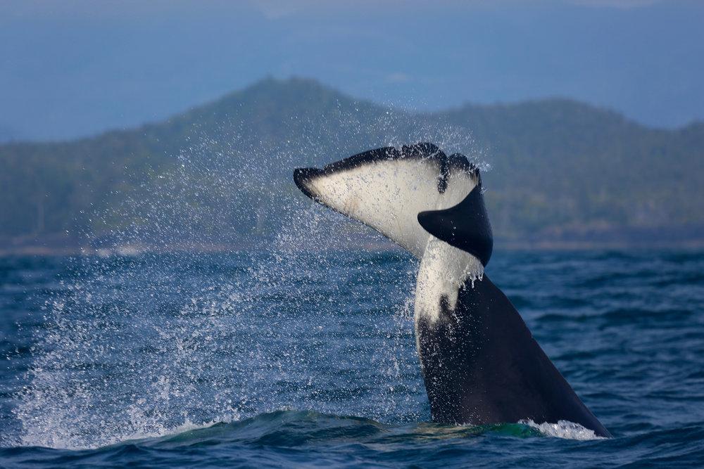 Tofino Whale Watching