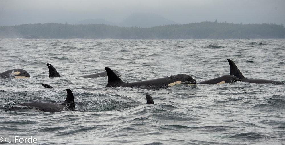 Southern Resident Killer Whales, J pod