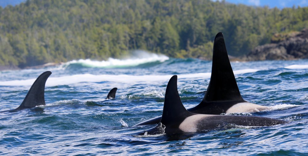 Northern Resident Killer Whales, A34's, Tofino