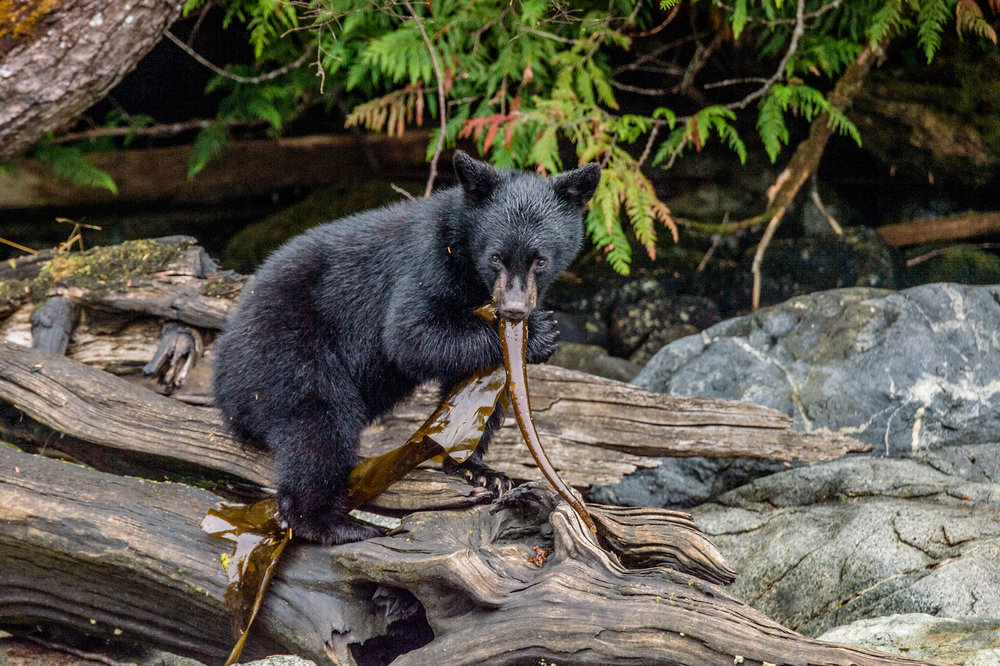 BEAR WATCHING TOUR - Departing: Daily on the low tide