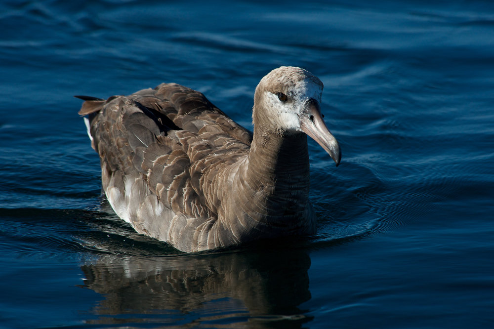 PELAGIC BIRD WATCHING TOURS - Available: April - SeptemberDeparting: 7:00 amDuration: 8 hours or more