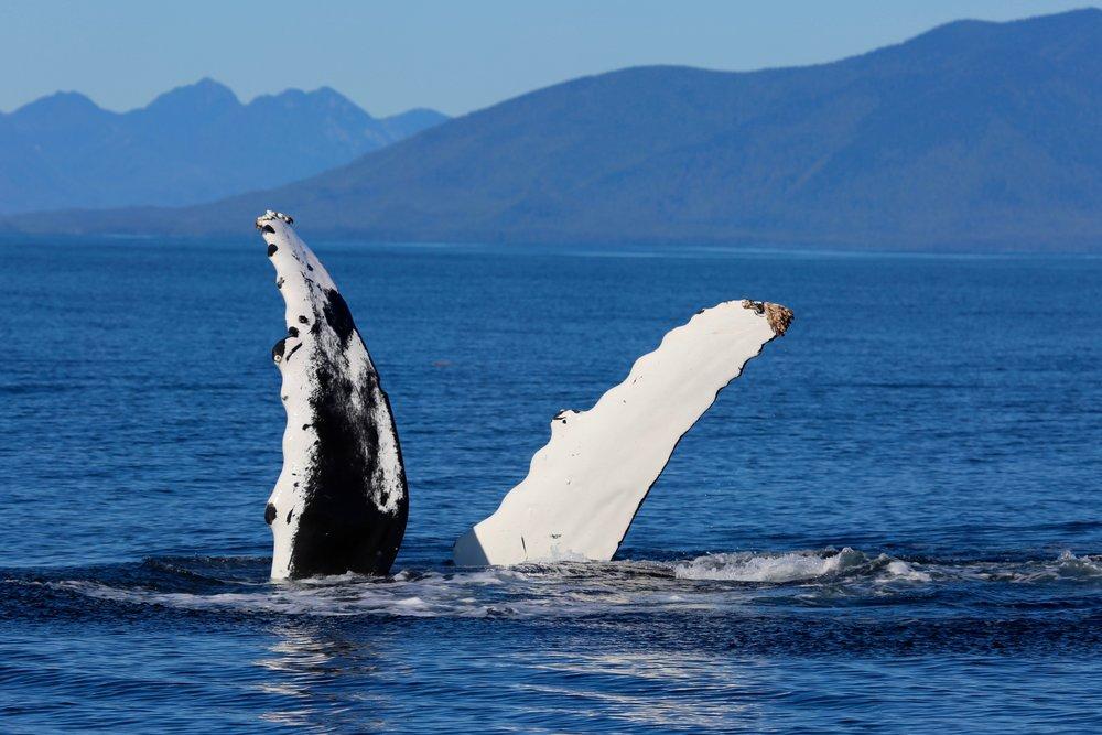 Whale Watching Tofino