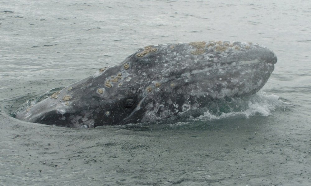 Grey Whale, Tofino Whale Watching Tour, Photo: John Forde