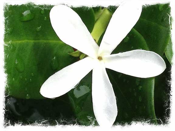 milena-flower.jpg