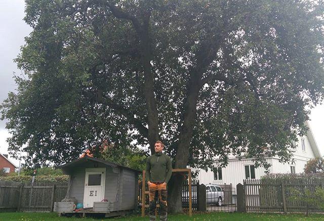 Idag fick vi hjälp med beskärning av ett stort och mäktigt päron, av en god gammal vän och fantastisk arborist @jimdebruce! Nu är trädet mycket lättare, släpper igenom mer sol och hänger mindre ut i gatan. Och det kommer dröja innan det behöver beskäras igen. Men ack så mycket päron som låg i backen, dubbelt så mycket efteråt!  Och lite mustning på det 🍎 #arboriculture #päron #beskärning #träd #trädgård