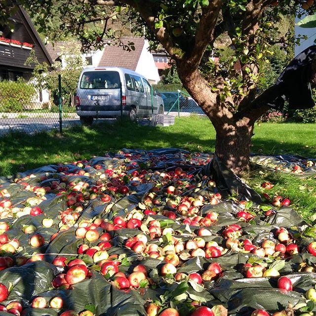 Det råder ingen brist på frukt. Detta träd har givit nästan ett halft ton äpplen. Stort tack ☀️ Fantastiskt att få jobba med att minska svinnet.  #tatillvara #mustning #hållbarhet #äpplen