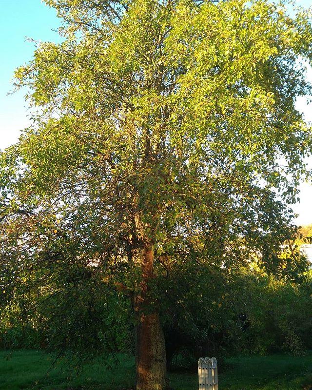 Heldag med rehabilitering av fruktträd! Första tre bilderna på stort päron som brutalt blev av med sina huvudgrenar för typ 15 år sedan. Senare bilder med svåra grenklumpar som sitter ihop på äpple som är hårt beskuret sen länge. Inte så lätt att gallra ur men det blir bättre sen!
