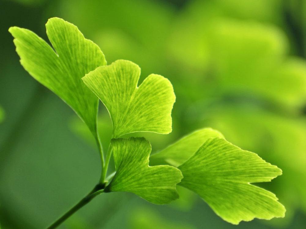 Nootropics - natural performance enhancers - gingko biloba