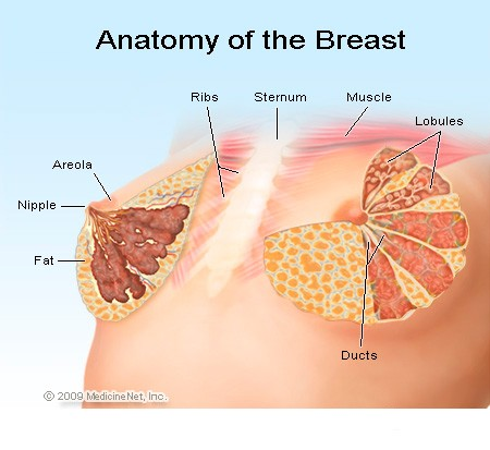 Figure 2 – Image of a normal breast.