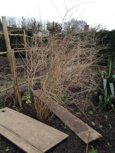 my first pruning assignment – spiraea
