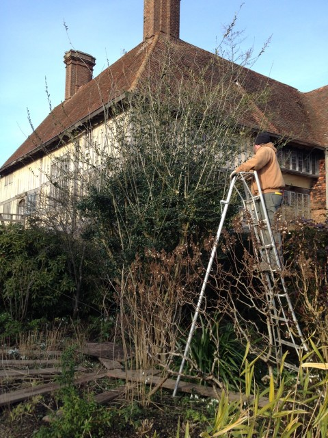 Matt on a 10' Hasegawa tripod, pruning the Ligustrum quihoui in the Long Border at Great Dixter
