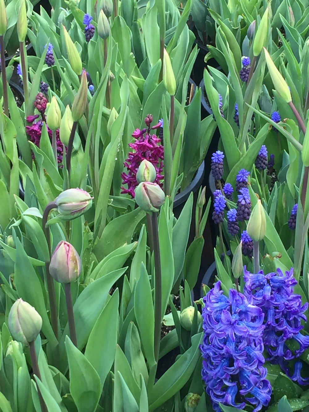 Close up of 'La Belle Epoque', Hyacinths and Muscari