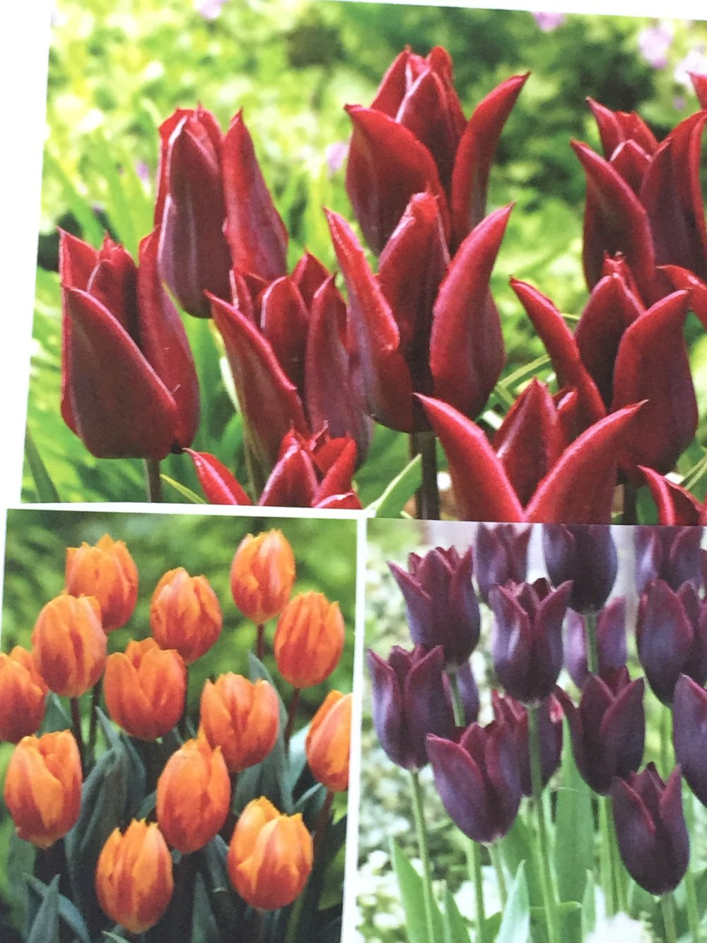 Venetian tulip mix