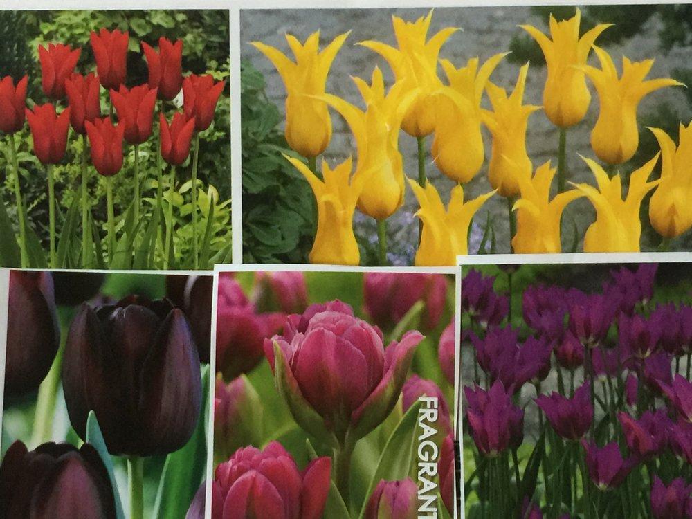 Mary Keen tulip mix