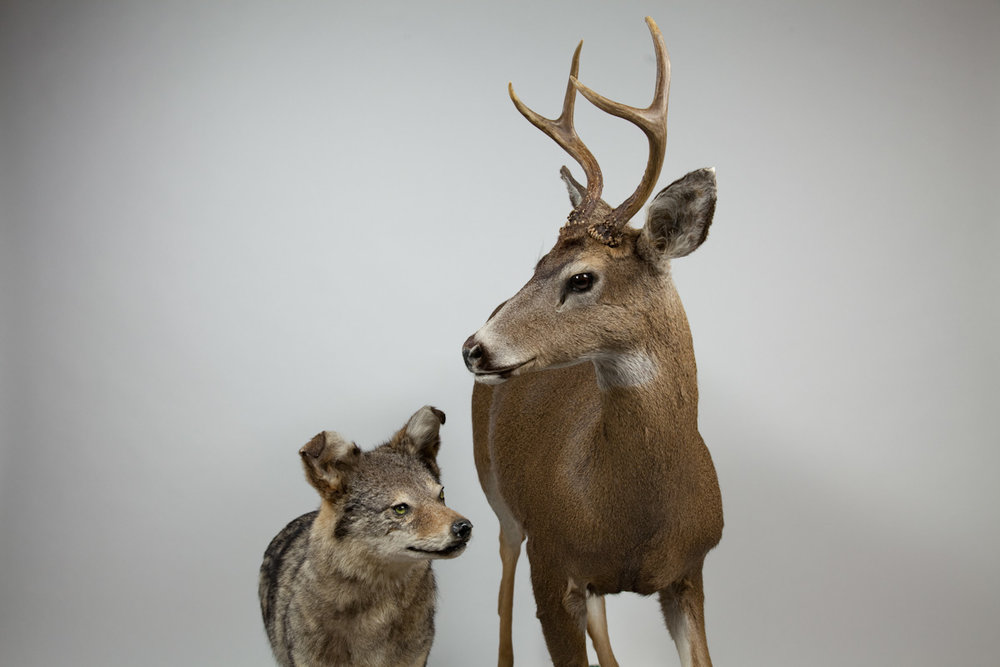 deer and coyote.04.jpg