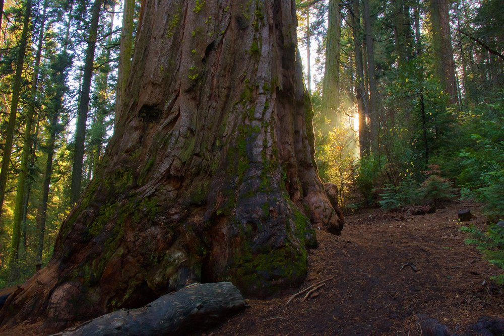 Nelder grove of giant sequoias Photo by liz christie