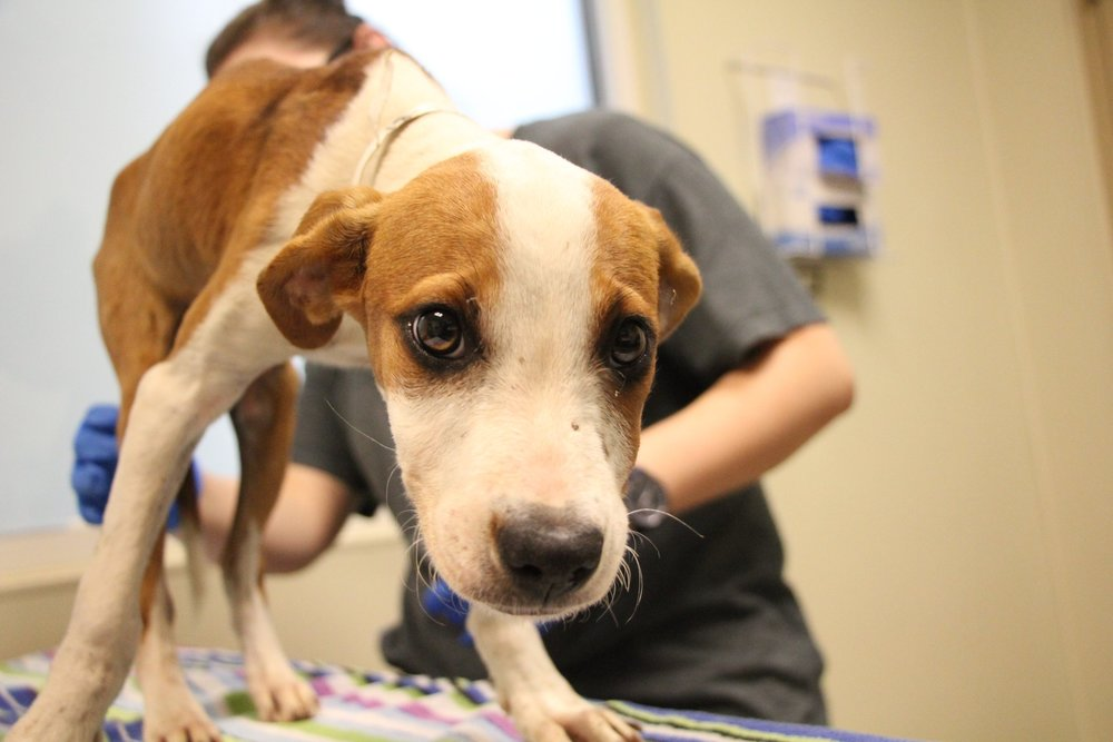 A dog rescued by the Atlanta Humane Society.