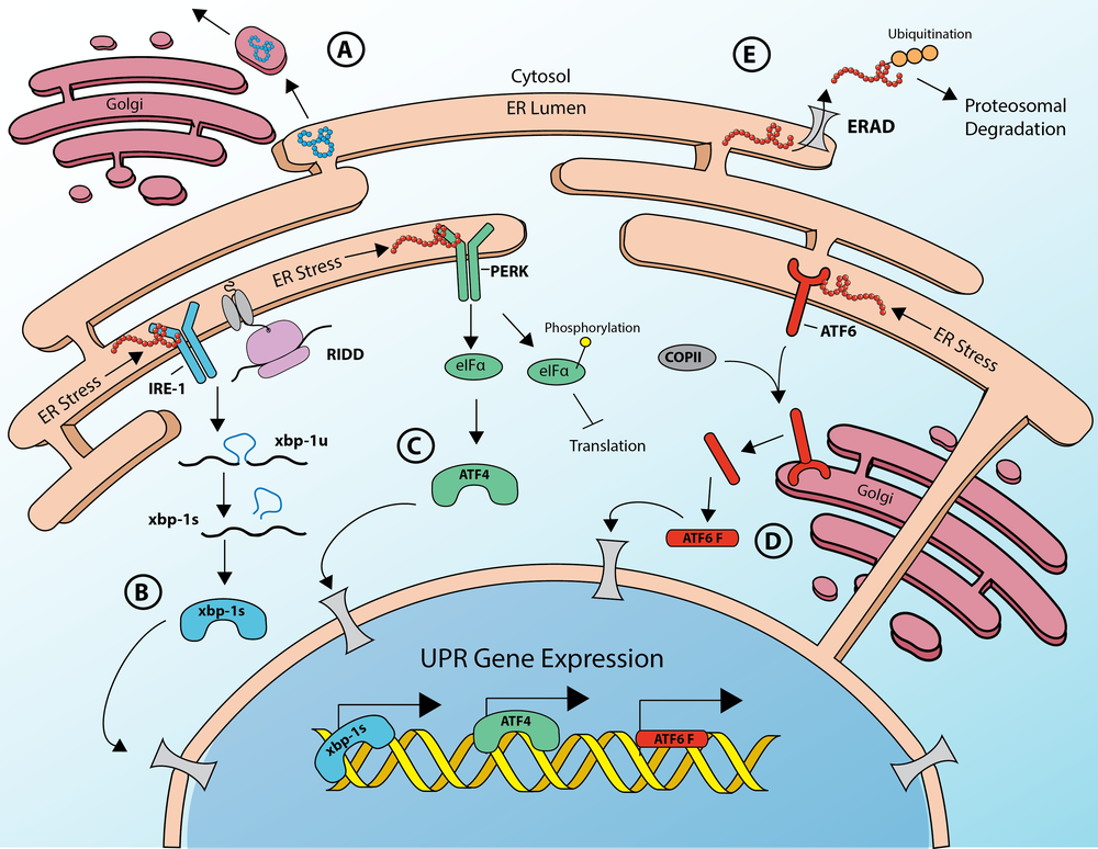 The Unfolded Protein Response of the Endoplasmic Reticulum