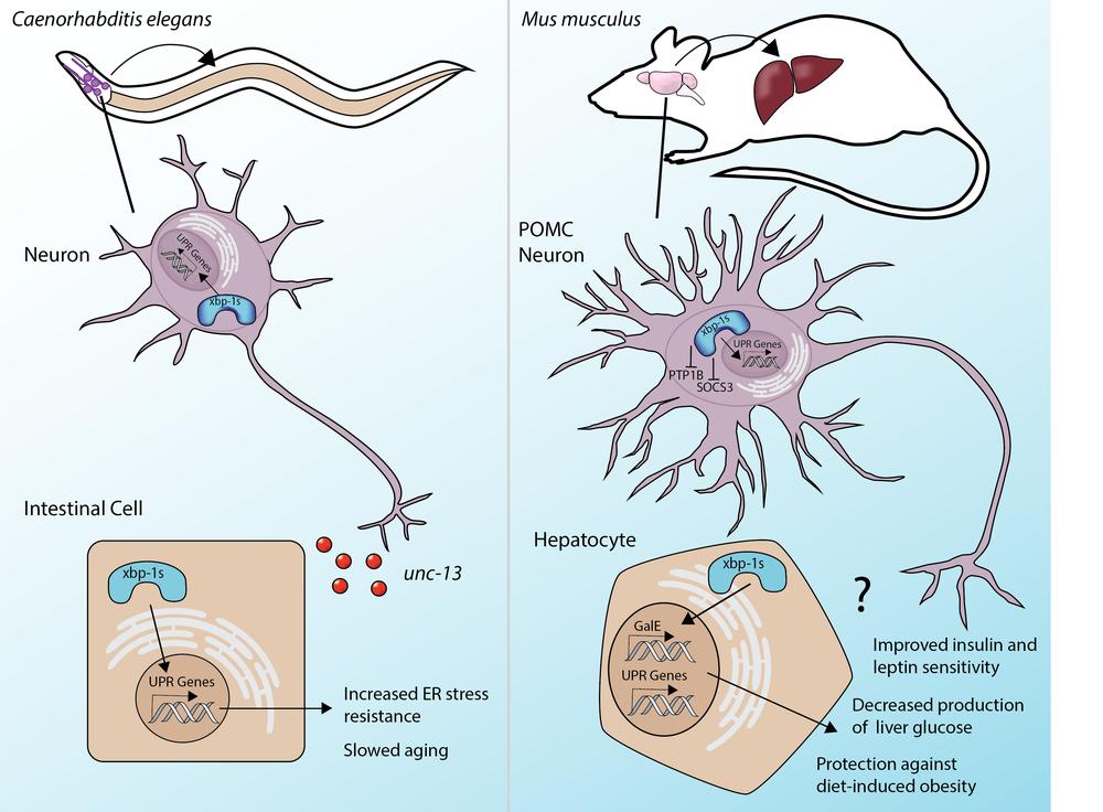 Cell Non-Autonomous Communication of UPRER
