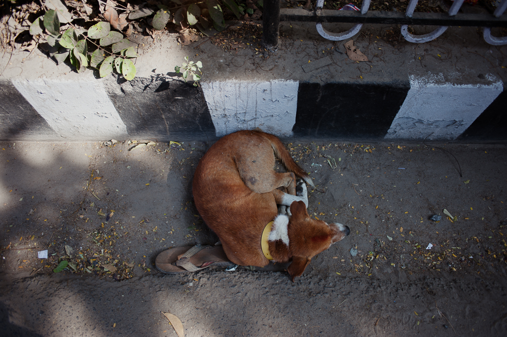 One of many dogs in Pondicherry (and India, in general.)