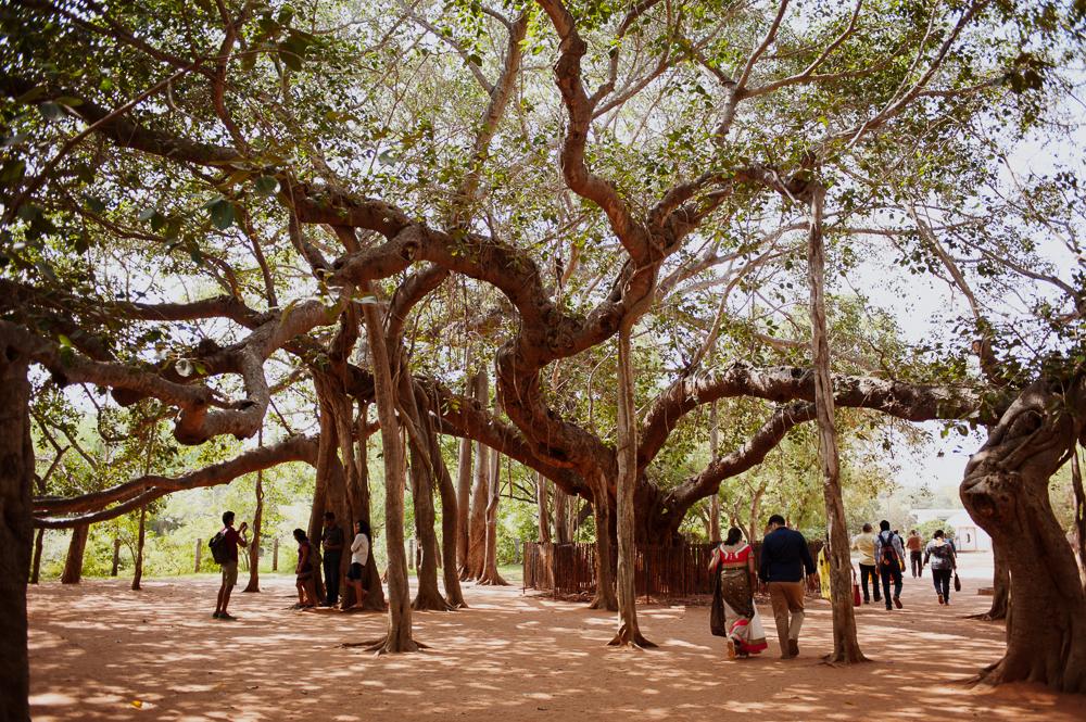 Banyan tree in Auroville.